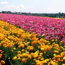 Wish to walk in a field of flowers