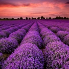 Trip to lavander fields