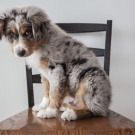 I wish I had an Aussie Shepherd