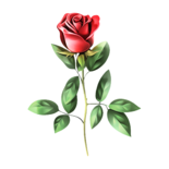 A rose for The most beautiful lady : ) - Knight